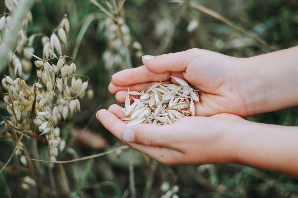Hände halten Getreide auf einem Kornfeld